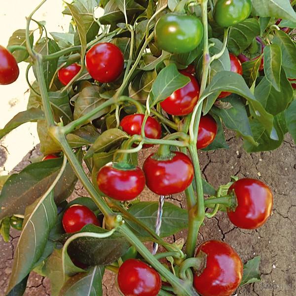 Peperoncino piccante a cuore vendita fiori piante online for Vendita semi fiori