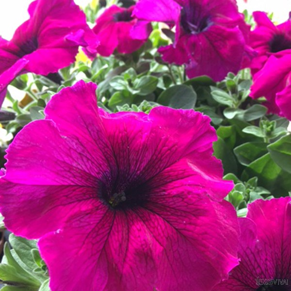 i petalosi 6 surfinie colori variegati vendita fiori