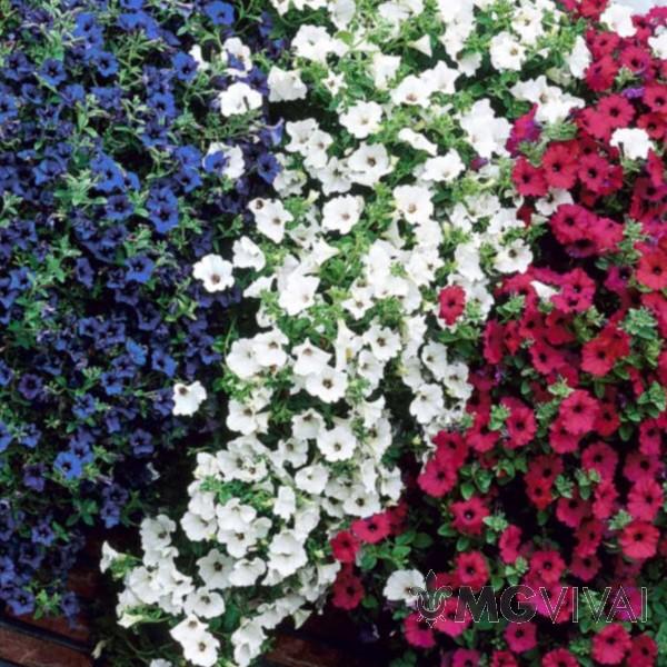 Piante Surfinie : I petalosi surfinie colori variegati vendita fiori