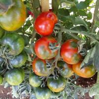 Pomodoro Camone