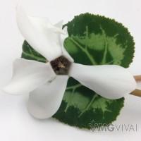 3 Ciclamini Colore Bianco