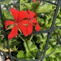 Geranio Francesino rosso