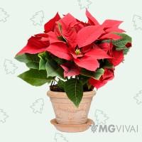 IDEA REGALO: Stella di Natale Grande con Vaso in Terracotta