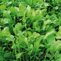 Rucola piante da orto vendita fiori piante online mgvivai for Piante da orto vendita online