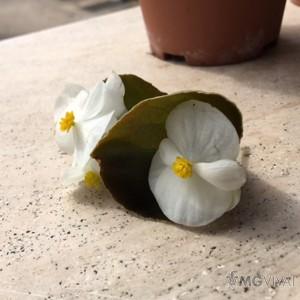 3 Begonie a Foglia Rossa e Fiore Bianco