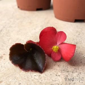 3 Begonie a Foglia Rossa e Fiore Rosso