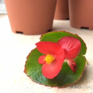 3 Begonie a Foglia Verde e Fiore Rosso