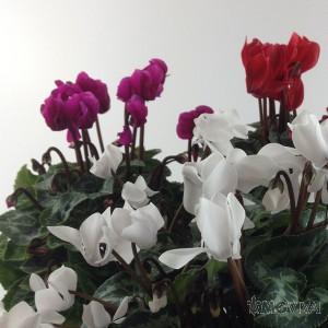 3 Ciclamini Colori Variegati