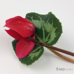 3 Ciclamini Colore Rosso