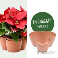 3 Piante Stella di Natale - Poinsettia Piccola